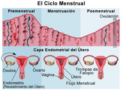 La imagen tiene un atributo ALT vacío; su nombre de archivo es ciclo_menstrual_normal.jpg